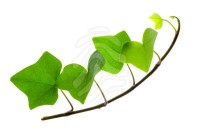 royalty-free-photos-sprig-of-ivy-ivy-leaf-12345465.jpg